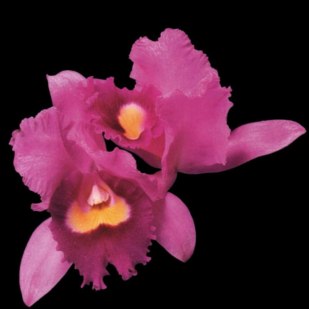 Orchid by OPETH album cover